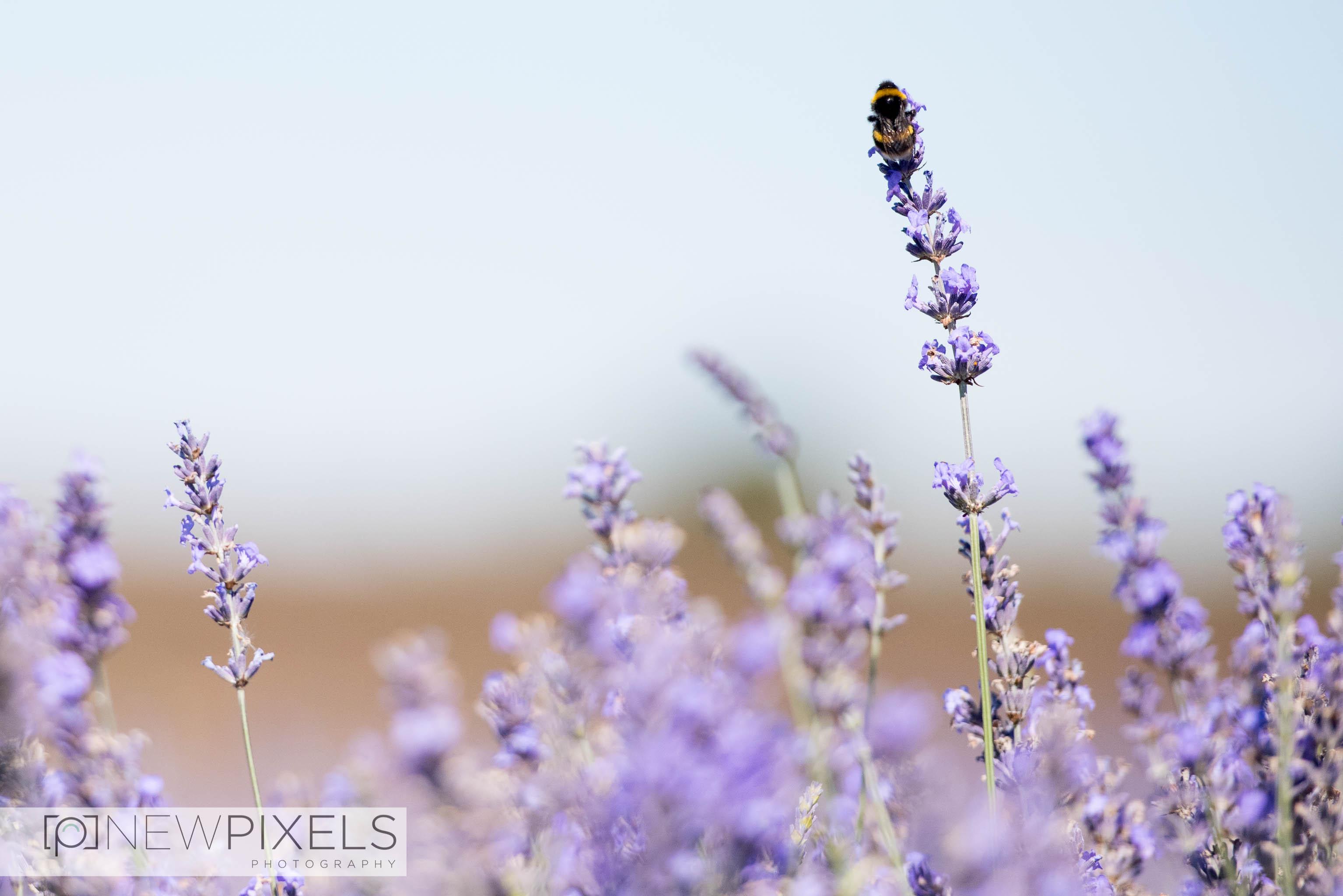 Lavender_Field_Engagement_Shoot-3