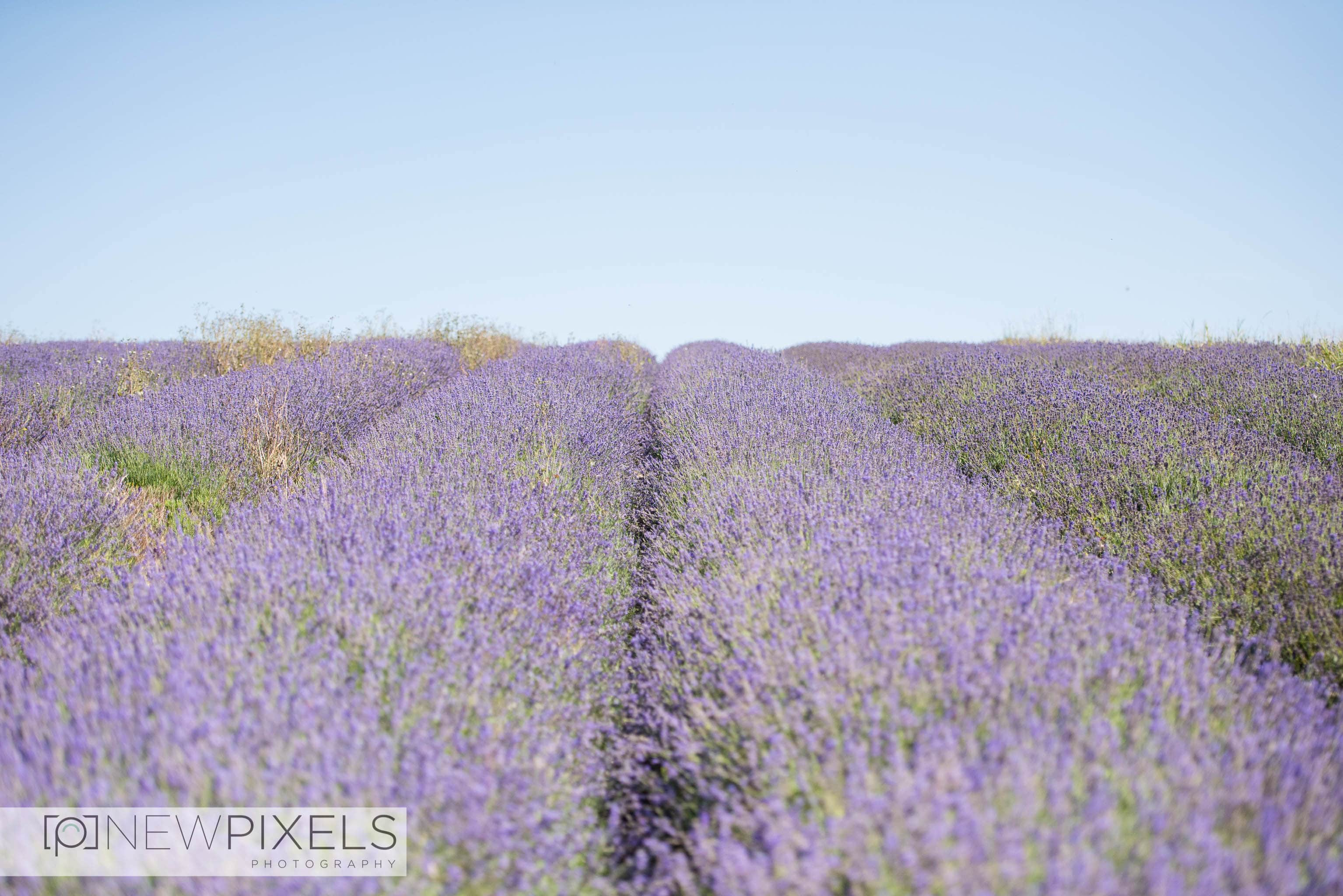 Lavender_Field_Engagement_Shoot-4